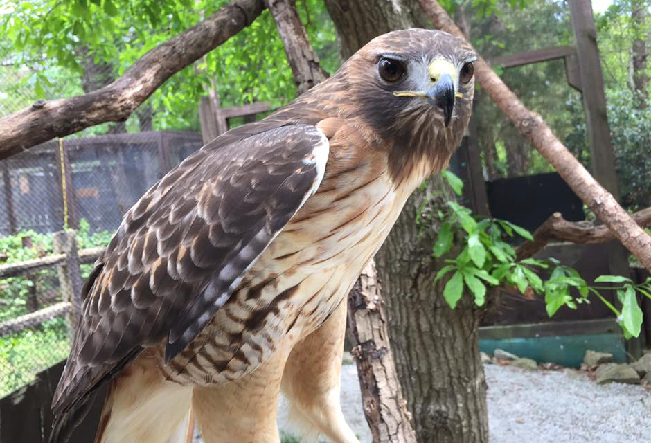 Rescued Wildlife Tour - Owls, Hawks, and more!